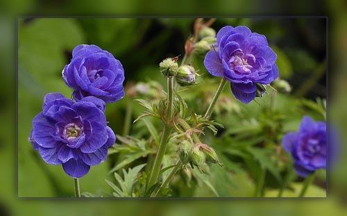 Самые красивые многолетние садовые цветы