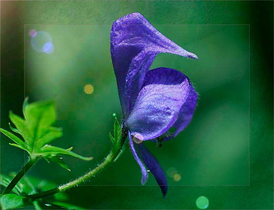 Самый опасный цветок