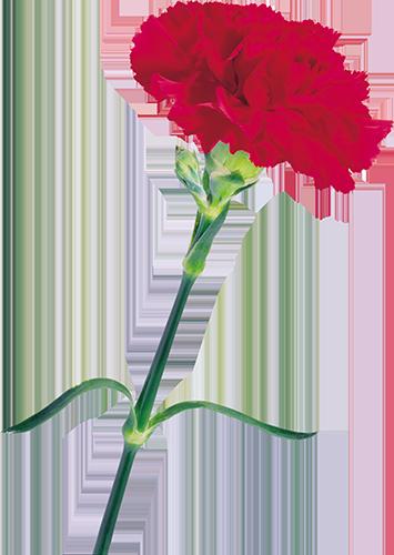 Красная гвоздика на 9 мая