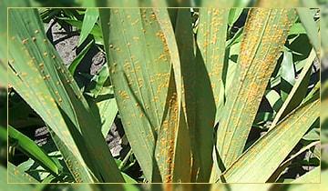 Почему листья гладиолусов желтеют до цветения